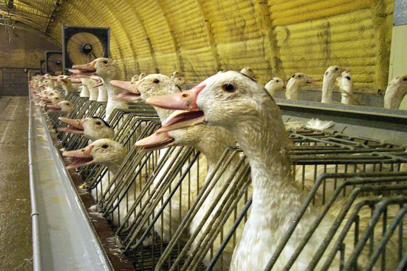 现代生产肥鹅肝的养鸭厂