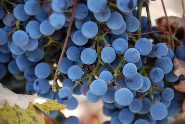 Golan Heights Winery的葡萄园,图片来源:Or Hiltch