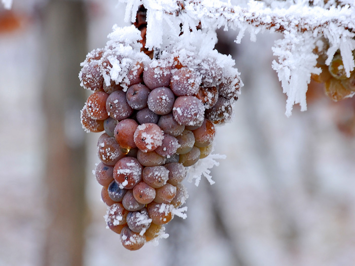 冰冻的葡萄,图片来源:winederlusting.com