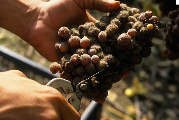 贵腐菌让葡萄变得丑但能酿出超级甜酒