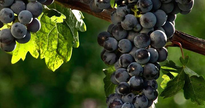 能酿成高酸度高单宁香气复杂好酒的赤霞珠