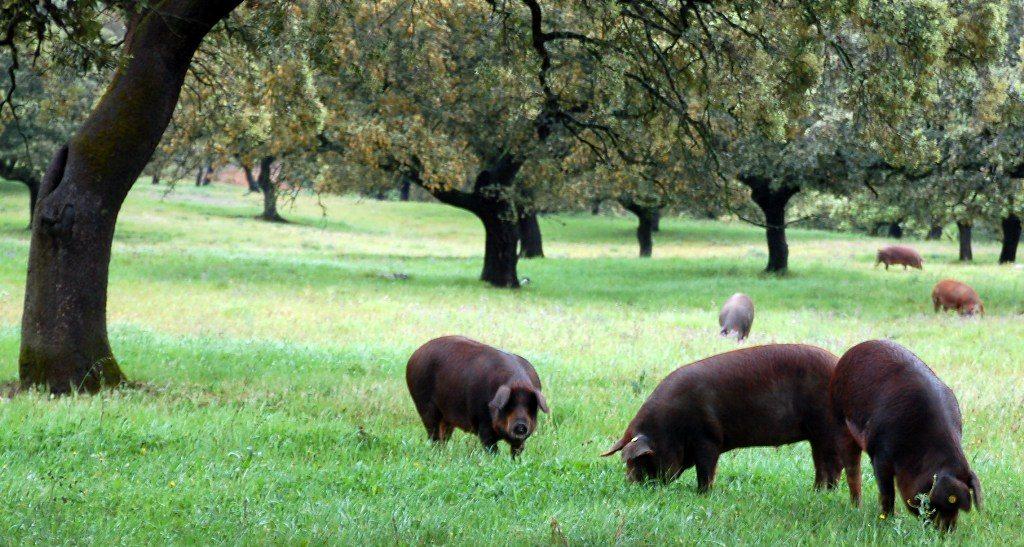jamon-pigs