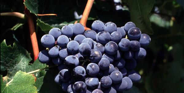 近年问世的新葡萄品种 马瑟兰(Marselan),来源:INRA