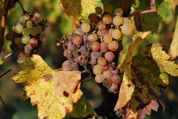 同一串葡萄上贵腐菌侵染程度不同的葡萄