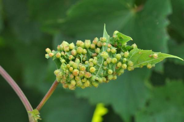根瘤蚜虫(Phylloxera)在葡萄叶上引起的虫瘿,来源:omafra