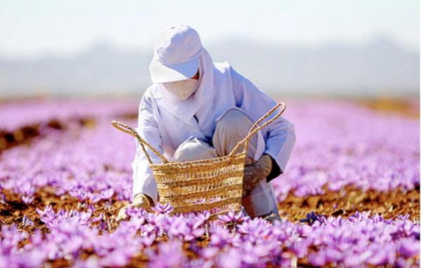 明明是世界上最贵的香料,藏红花却被拿来泡茶养生