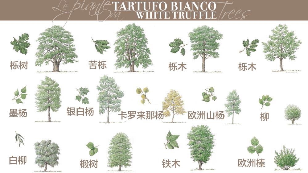 白松露的共生树