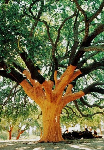 一棵采剥去树皮的栓皮栎树
