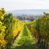 葡萄园在秋天在德国地区莱茵高地区-32581361