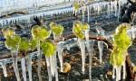 突发:罕见霜冻席卷大半个法国,多个产区遭受致命打击