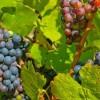 2012年的博若莱新酒品质如何?