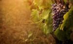 杰西斯·罗宾逊: 本土葡萄品种的回归