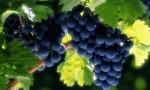 酿酒用葡萄真的难吃吗?