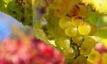 葡萄酒里的香气从哪里来?