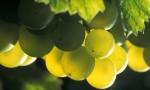 经典白葡萄的香气表现:霞多丽和白诗南