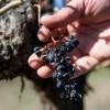 30年后,勃艮第和波尔多等葡萄酒产区或将消失!