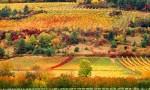 法国南部的露喜龙率先开始葡萄采摘