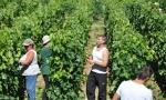 正确认识葡萄酒农药残留问题
