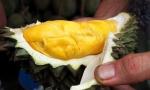 猫山王、金枕头、D24……这些榴莲品种你都能搞清楚吗?