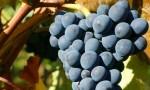经典红葡萄的香气表现:赤霞珠和黑皮诺