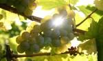 【视频】探索雷司令的殿堂:全世界最古老的酒庄Schloss Vollrads庄主品鉴会