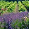 普罗旺斯:盛夏里的桃红王国