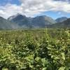 杰西斯·罗宾逊:世界最南端的葡萄园