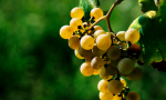 后记   8大白葡萄品种的盲品秘诀:知味盲品进阶赛第2场