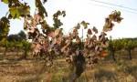 欧洲50度高温来袭,竟有葡萄园被烤干