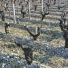 直击2011波尔多期酒:拉图酒庄, 矛盾的2011年