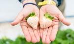 白色草莓PK丹东99,你选谁?